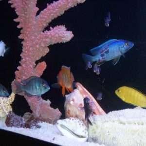Речной аквариум с цихлидами.