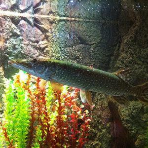Речной аквариум с щукой