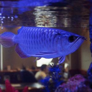 Речной аквариум с арованой