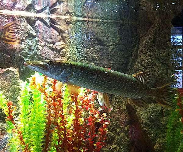 Речной аквариум с щукой.