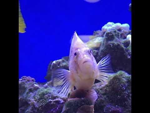 Кудрепер в морском аквариуме