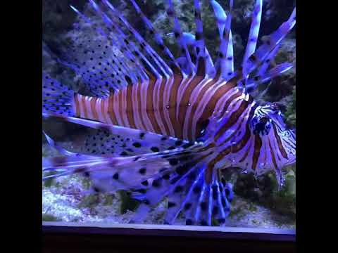 Крылатка в морском аквариуме